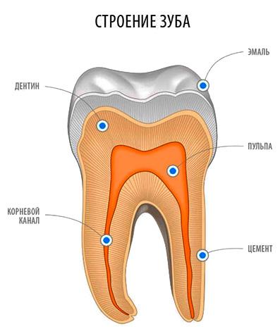 На картинке показано строение зуба: видно, что дентин составляет большую его часть.
