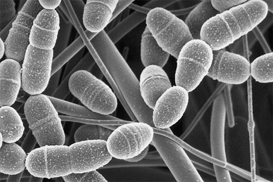 Развитию кариеса способствует ряд микроорганизмов в полости рта, в частности анаэробные бактерии Streptococcus mutans.