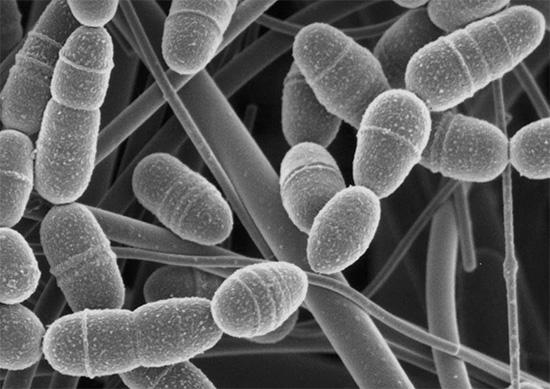 Streptococcus mutans способны прикрепляться к эмали зуба за счет специальных рецепторов на поверхности своих клеточных стенок