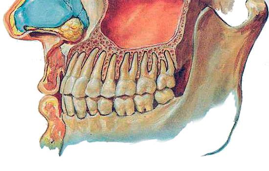 На этой картинке хорошо видно, насколько близко корни верхних зубов расположены к гайморовой пазухе.