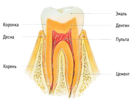 На картинке показано строение зуба: при отбеливании воздействию подвергается прежде всего эмаль.