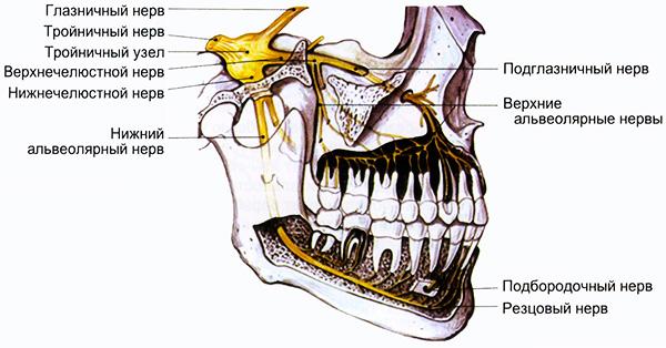 На картинке хорошо видно, что в случае воспалительных процессов в области зубов мудрости может произойти сдавливание близко расположенных нервных пучков.