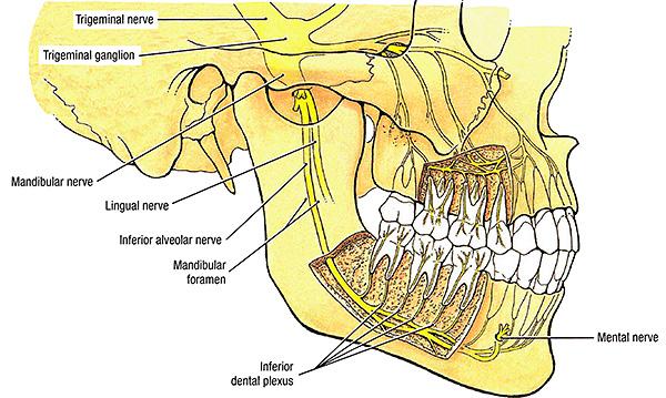 Парестезия после удаления зуба может возникать как по причине сдавливания нерва из-за развившегося отека, так и по причине повреждения нерва хирургическими инструментами.